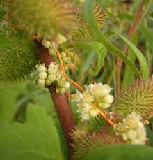 Cuscuta australis – Wikipedia