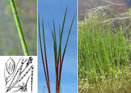 Juncus heterophyllus Dufour - Guida alla flora degli stagni ...