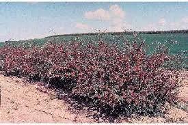 Plants Profile for Cotoneaster integerrimus (cotoneaster)
