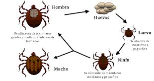 Ixodoidea