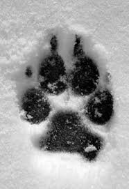 Wolves: лучшие изображения (59)   Wild animals, Wolf howling и ...