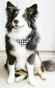 images about All About Border Collie on Pinterest   Sheep     Pinterest Click visit site and Check out Best  quot Border Collie quot  T shirts  This website is outstanding  Tip  You can search  quot your name quot  or  quot your favorite shirts quot  at