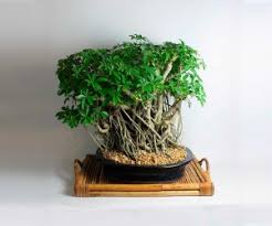 20 year old schefflera bonsai tree bonsai tree interior