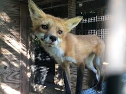 Injured fox has captured <b>a lot of hearts</b> in NW Ohio
