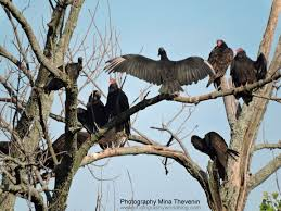 Image result for hairless turkeys