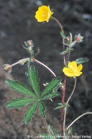 Potentilla heptaphylla L.