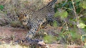 2 Leopards Attack Giant Rock Python ! Kruger National Park ...