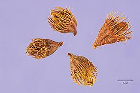 Plants Profile for Agrimonia eupatoria (churchsteeples)