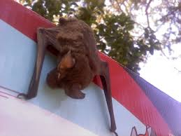 bats rabies shots oh my st george news bat rabies