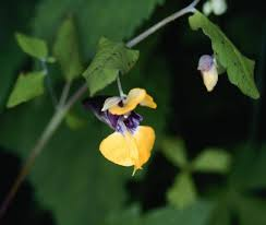 Balsaminaceae in Flora of China @ efloras.org