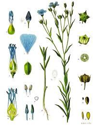 Flax - Wikipedia