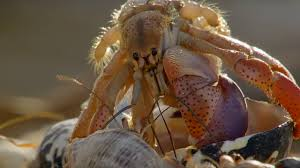 Crabs Trade <b>Shells</b> in the Strangest Way | BBC Earth - YouTube