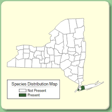 Helleborus viridis - Species Page - NYFA: New York Flora Atlas