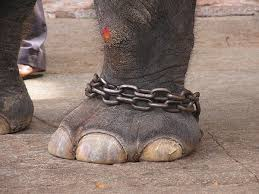 Image result for IMAGES OF ELEPHANTS TIED UP WITH CHAINS
