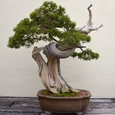 juniper bonsai trees bonsai tree interior