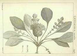Centaurea acaulis - Wikispecies