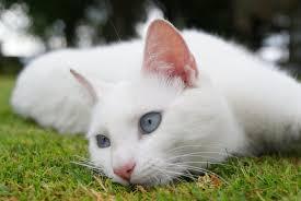 اجمل السنوريات البيضاء -3- images?q=tbn:ANd9GcS