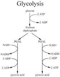 images of glycolysis diagram   diagramsglycolysis pathway diagram w great notes bchm concepts of