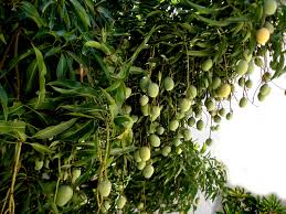 Image result for pictures of mango trees