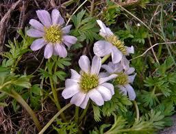 Callianthemum kernerianum Freyn ex A. Kern.