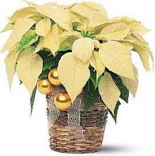 Tips for the care of Holiday Poinsettia plants from Phoenix Flower ...