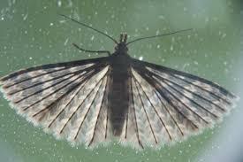 Many-plumed moths