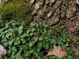 Image result for mitchella repens