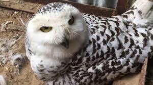 Белая <b>сова</b> на гнезде питомник /Bubo scandiacus - YouTube