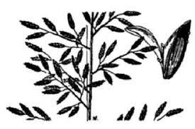 Plants Profile for Eragrostis minor (little lovegrass)
