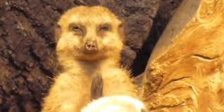 tired meerkat loses struggle to stay awake wins at everything tired meerkat loses struggle to stay awake wins at everything else the huffington post