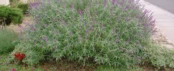 Salvia Species, Mexican Bush Sage Salvia leucantha