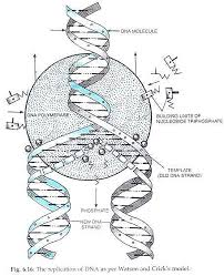 mechanism of dna replication  explained with diagrams    biologythe replication of dna as per watson and crick    s model
