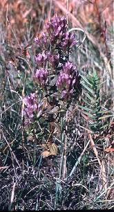 Online Virtual Flora of Wisconsin - Gentianella quinquefolia