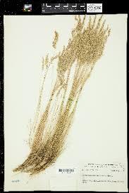 Corynephorus canescens - Flora del Noroeste de México