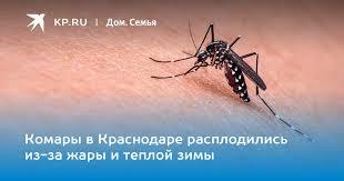 Комары в Краснодаре расплодились из-за жары и теплой зимы