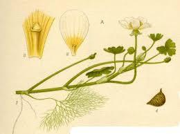 Ranunculus peltatus - Wikipedia, la enciclopedia libre