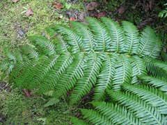 Woodwardia radicans Chain Fern, Rooting chainfern PFAF Plant ...