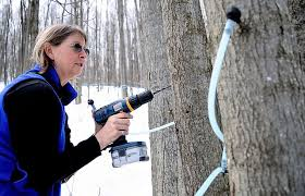 Image result for tapping maple trees