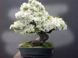 5 apple tree bought bonsai tree