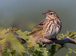 Image result for pipits