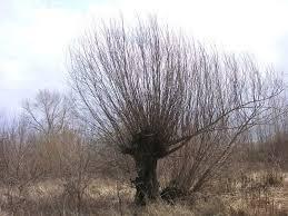 SALICACEAE Populus (pioppio), Salix