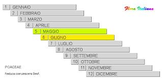 Festuca coerulescens [Festuca glaucescente] - Flora Italiana