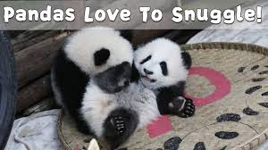 Baby <b>Pandas Love</b> To Snuggle! | iPanda - YouTube