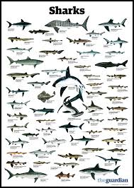 best ideas about species of sharks ocean 17 best ideas about species of sharks ocean creatures whales and ocean life