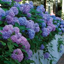 <b>Big Flowers</b> from Bigleaf Hydrangeas - FineGardening