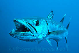 Image result for barracuda fish