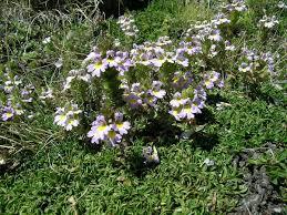 Euphrasia alpina - Wikipedia