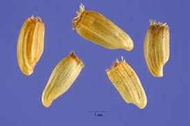 Plants Profile for Centaurea jacea (brownray knapweed)