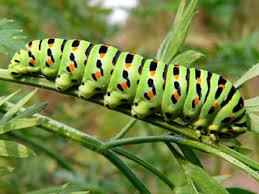 Парусник-<b>махаон</b> - самая красивая наша <b>бабочка</b> и ее гусеница ...