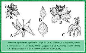 Primulaceae in Flora of Pakistan @ efloras.org
